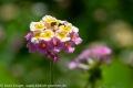Lila-weiß-gelde Blume