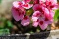 Rosa pinke Blume