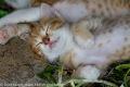 Schlafendes rot weißes Katzenbaby