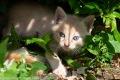 Weiß rotes Katzenbaby mit blauen Augen