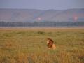 Löwe mit Heißluftballons