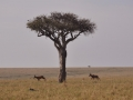 Baum in der Masai Mara