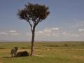 Zebra unter Schatten spendenden Baum in der Masai Mara