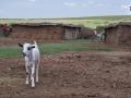Ziege im Massai Dorf