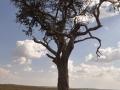 Löwen unter Baum in der Masai Mara
