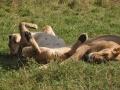 Schlafenden Löwen in der Masai Mara