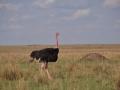Männlicher Strauss in der Masai Mara