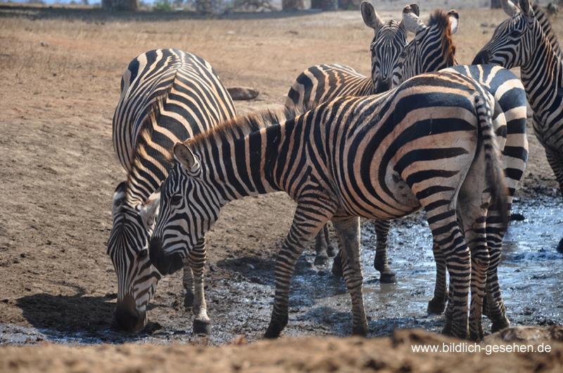 ke13-293-kenia-taita-hills-zebras