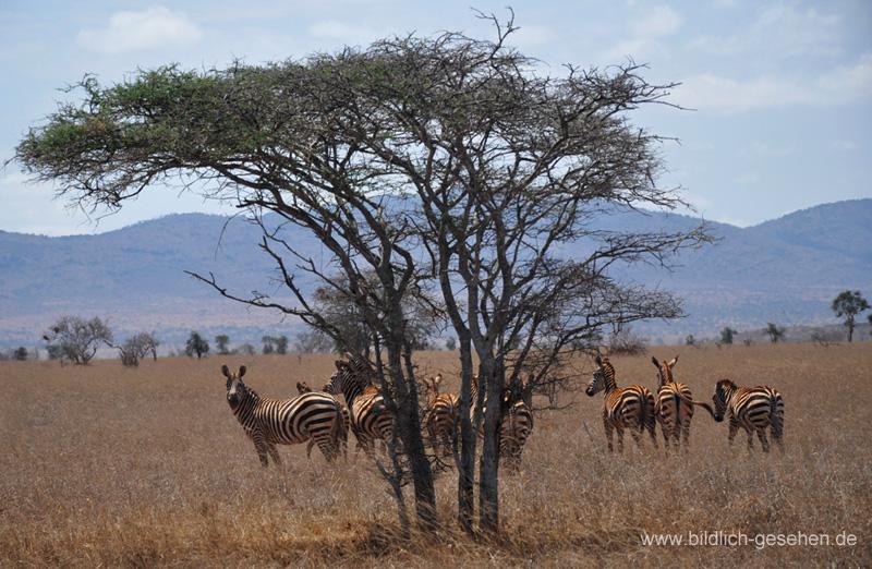 ke13-326-kenia-taita-hills-zebras-unter-baum