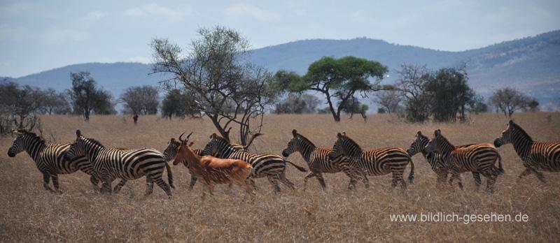 ke13-332-kenia-taita-hills-zebras