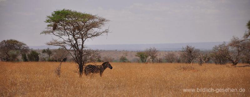 ke13-342-kenia-taita-hills-zebra-unter-baum