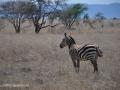 ke13-343-kenia-taita-hills-zebra