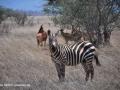 ke13-350-kenia-taita-hills-zebra