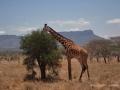 ke13-422-kenia-taita-hills-giraffe-fressend